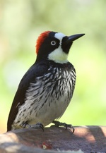 Big Acorn Woodpecker