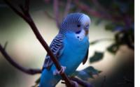 Blue-parrot Wallpaper