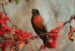 Charming American Robin