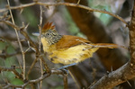 Charming Barred Antshrike