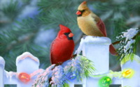 Christmas-cardinals Wallpaper