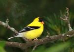 Cute American Goldfinch