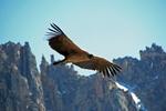 Cute Andean Condor