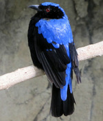 Cute Asian Fairy Bluebird