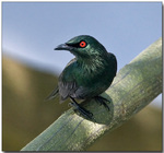 Cute Asian Glossy Starling
