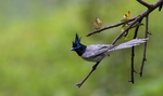 Cute Asian Paradise-flycatcher