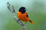Cute Baltimore Oriole