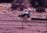 Cute Banded Stilt
