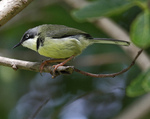 Cute Bar-throated Apalis