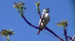 Cute Bare-throated Bellbird