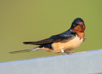 Cute Barn Swallow