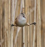 Cute Bearded Reedling