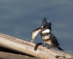 Eating Belted Kingfisher