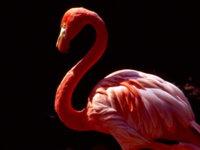 Flamingo-blackback Wallpaper