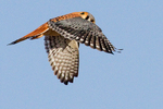 Flying American Kestrel