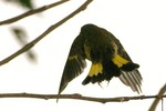 Flying American Redstart