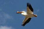 Flying American White Pelican