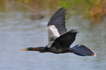 Flying Anhinga