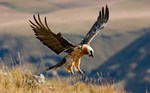 Flying Bearded Vulture