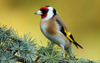 Goldfinch Tree Wallpaper