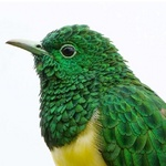 Head African Emerald Cuckoo