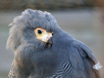 Head African Harrier-Hawk
