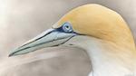 Head Australasian Gannet