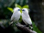 Kissing Bali Mynas