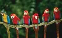 Macaws Tree Wallpaper