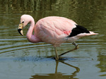 Nice Andean Flamingo