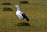 Nice Andean Goose