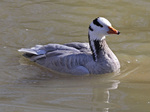 Nice Bar-headed Goose