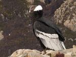 Sitting Andean Condor
