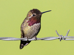 Sitting Anna's Hummingbird