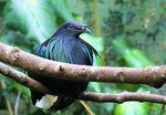 Sitting Asian Fairy Bluebird