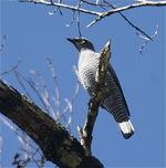 Sky Barred Cuckoo-shrike