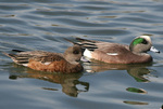 Two American Wigeons