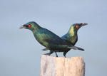 Two Asian Glossy Starlings