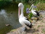 Two nice Australian Pelicans