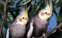 Two Parrots Brach Wallpaper