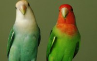 Two Parrots Wallpaper