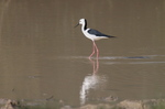 Walking Banded Stilt