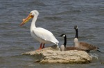 Watching American White Pelican
