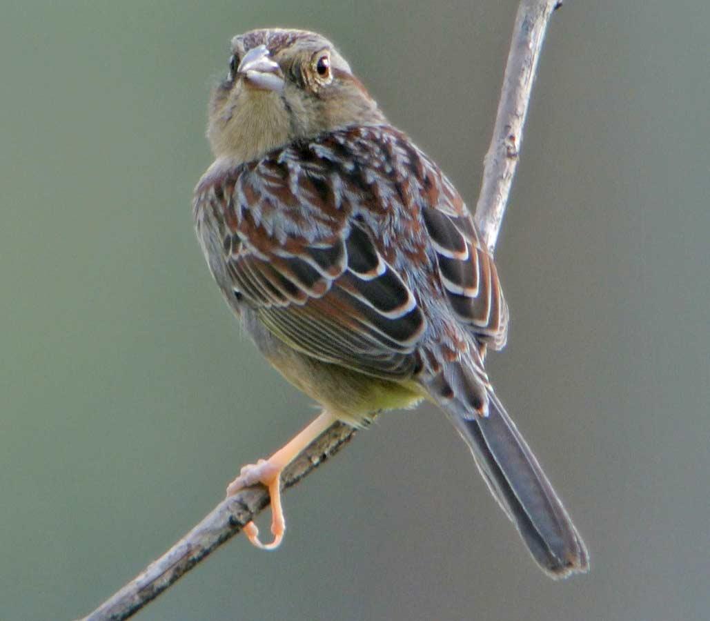 Cute Bachman's Sparrow