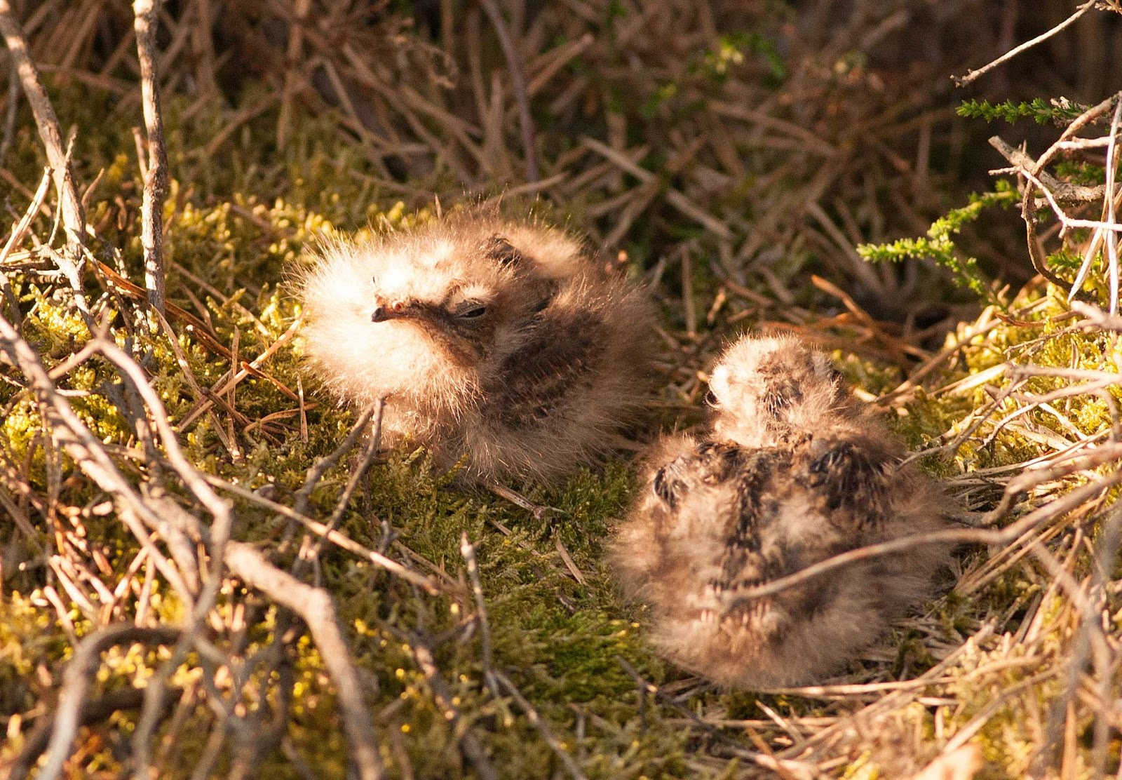 Abyssinian Nightjar chicks