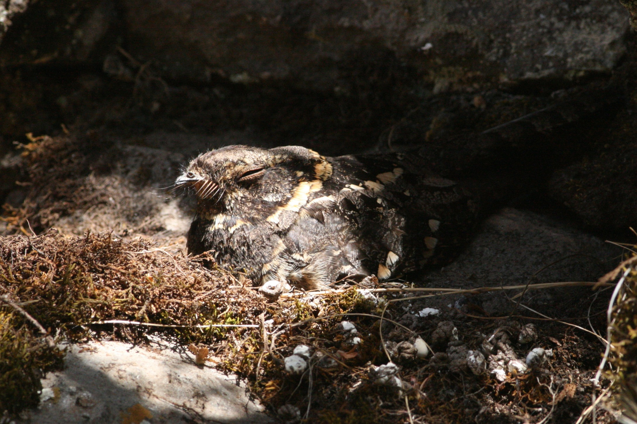 Abyssinian Nightjar in the cave