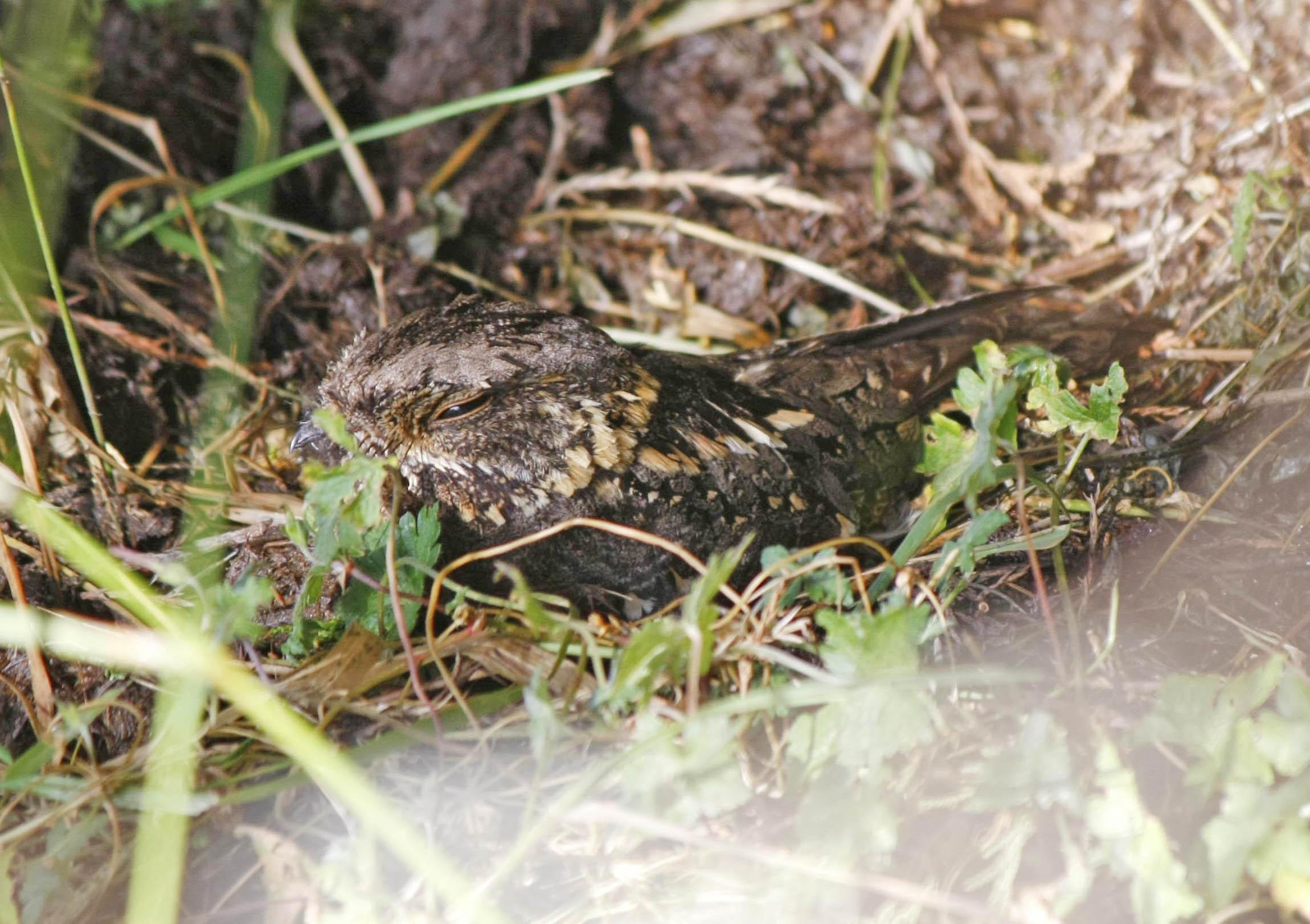 Abyssinian Nightjar in the grass