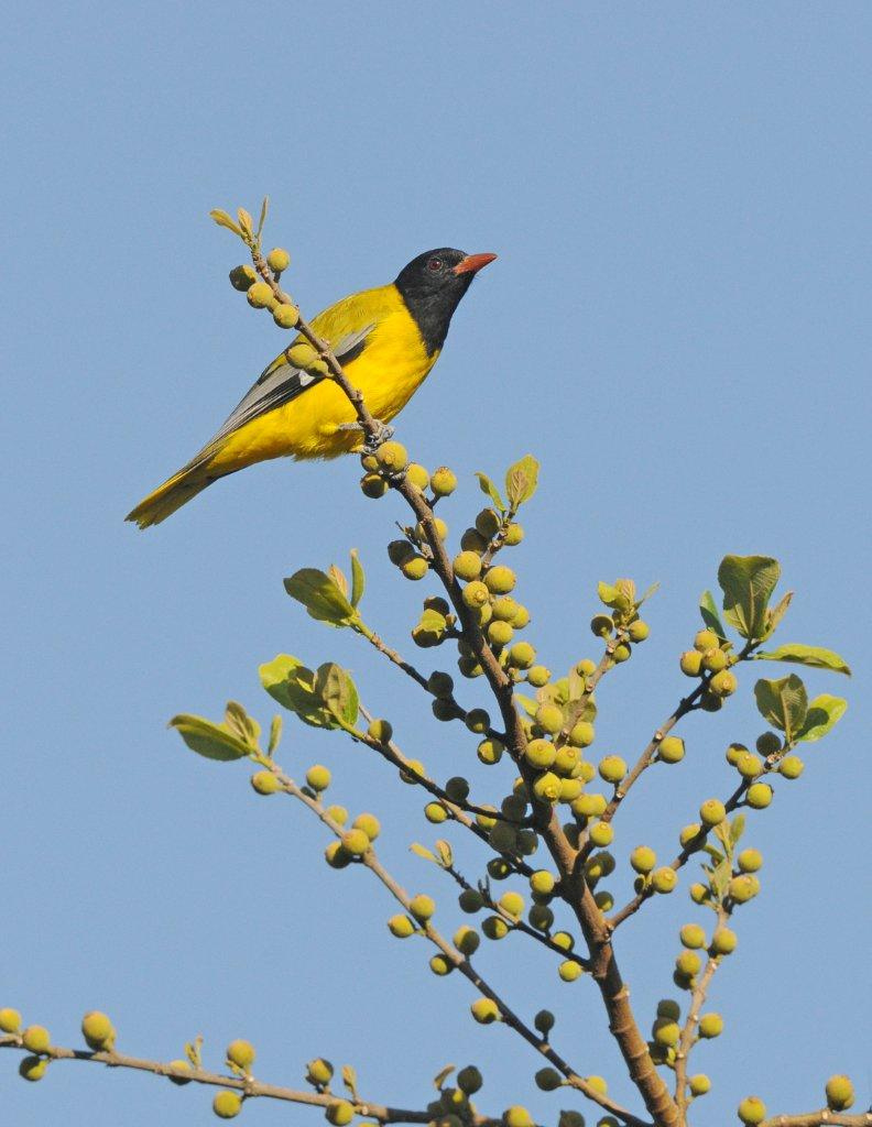 Abyssinian Oriole on a tree
