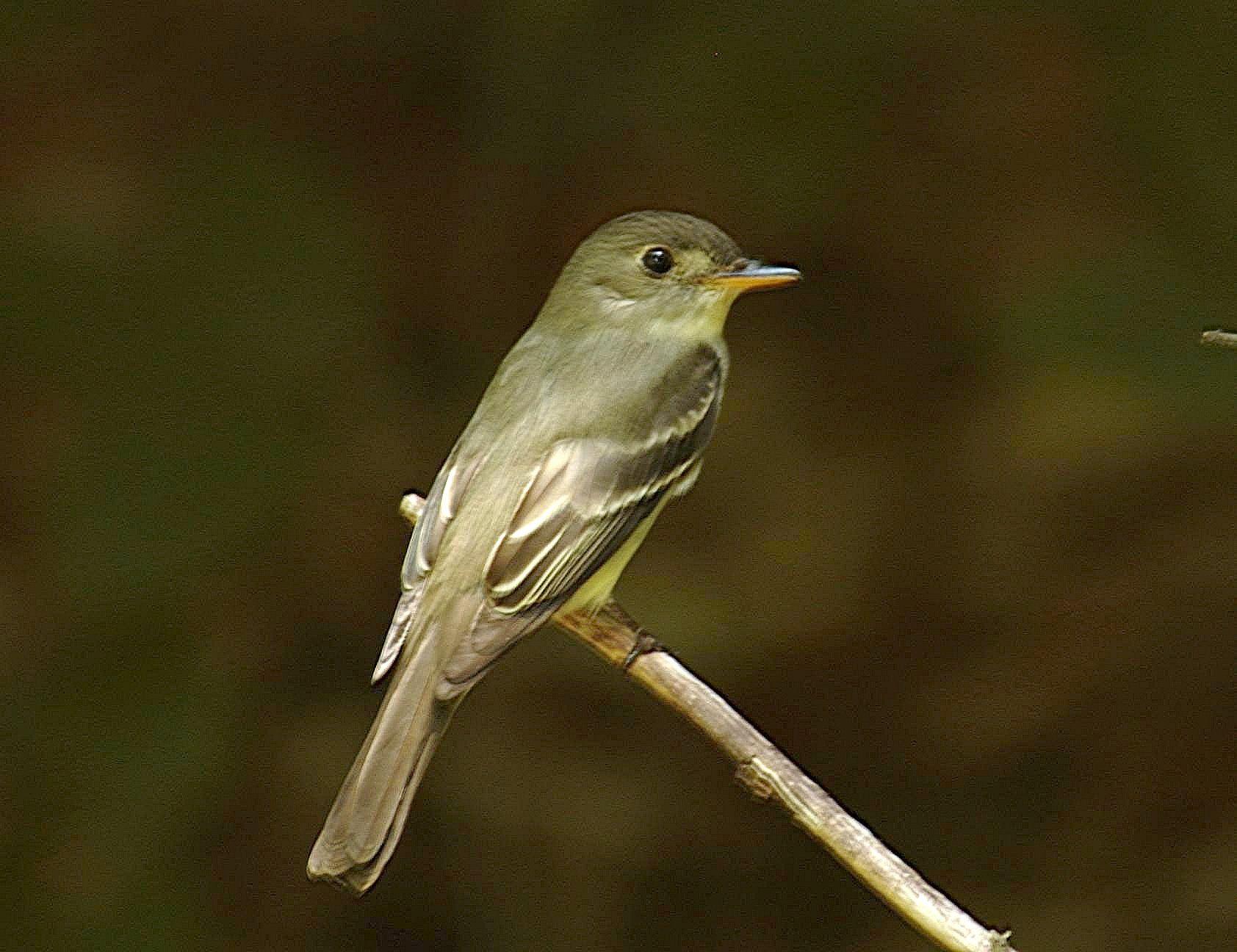 Acadian Flycatcher sitting on tree