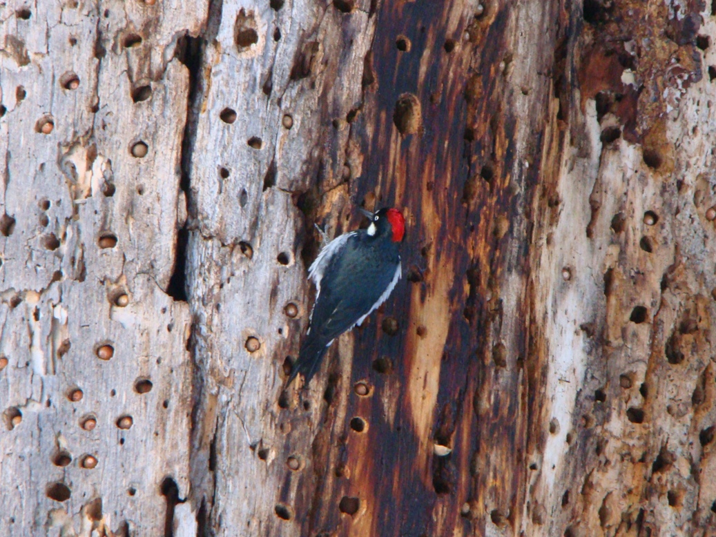 Acorn Woodpecker in tree